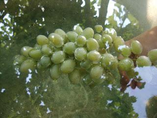 Гроздь винограда в воде