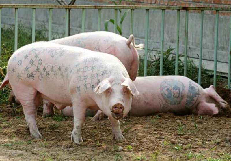 Creative Tattoo Arts on Pigs – Amazing Animals