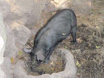 pig black holes - photo #48