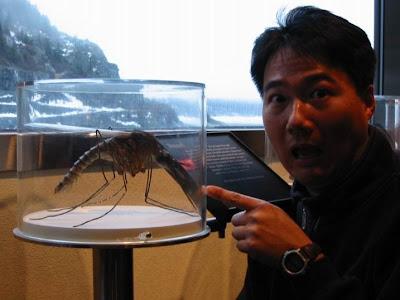 最大的蚊子 金腹巨蚊 紫色巨蚊