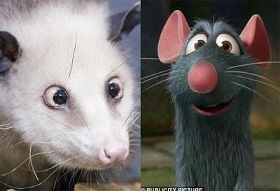 料理鼠王 罕見鬥雞眼負鼠