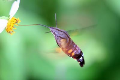 會飛的蝦子 長喙天蛾