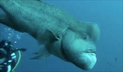 世界最醜的魚 史瑞克