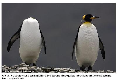 南喬治亞無頭企鵝
