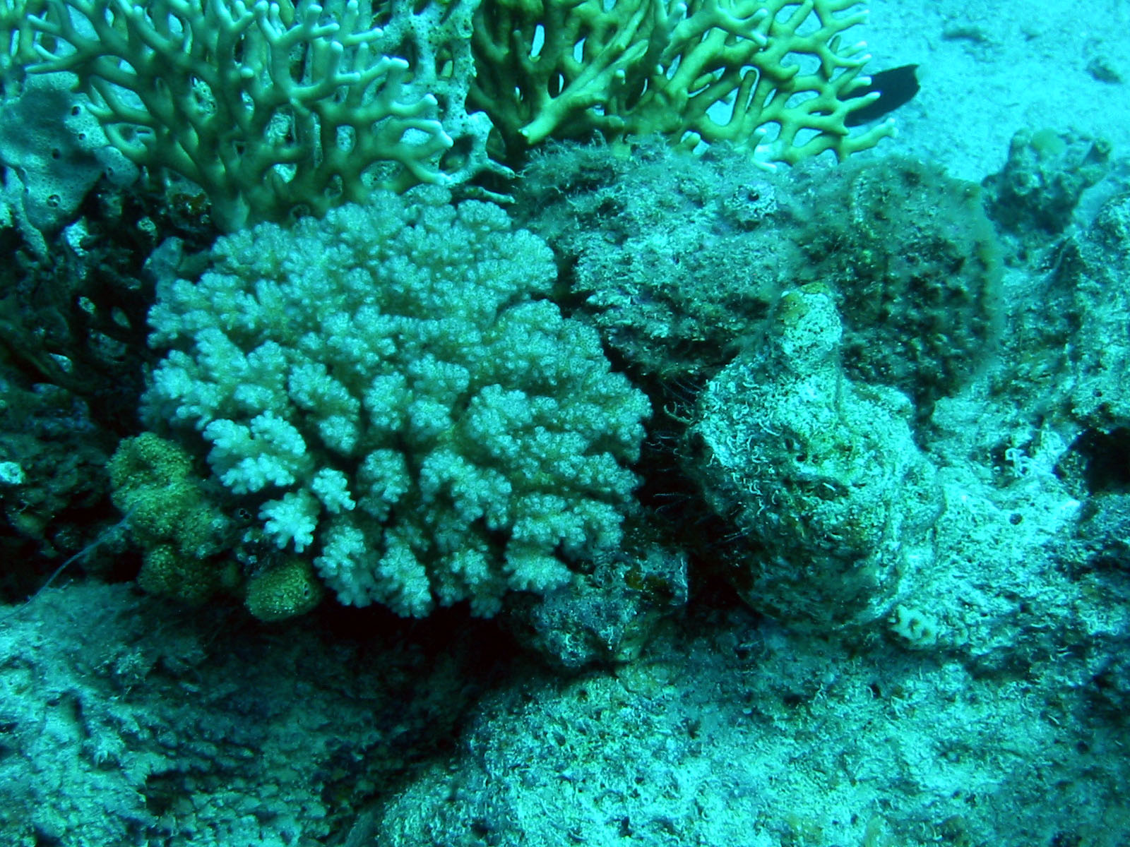 The camouflage wonders of the animal kingdom the stonefish for Stone fish facts