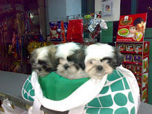 Shih Tzu (Lion dogs)