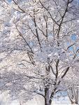 snowey tree