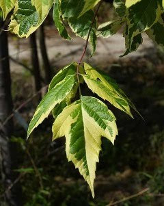 Acer Negudo Box Elder An Overlooked Native Tree