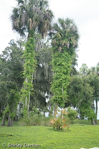 Florida native plant society blog being true to place for Magnolia homes cypress grove