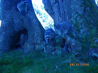 Raccoon Family in Stanley Park Vancouver