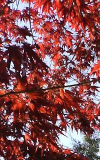 Acer Palmatum / Red Dragon Leaves