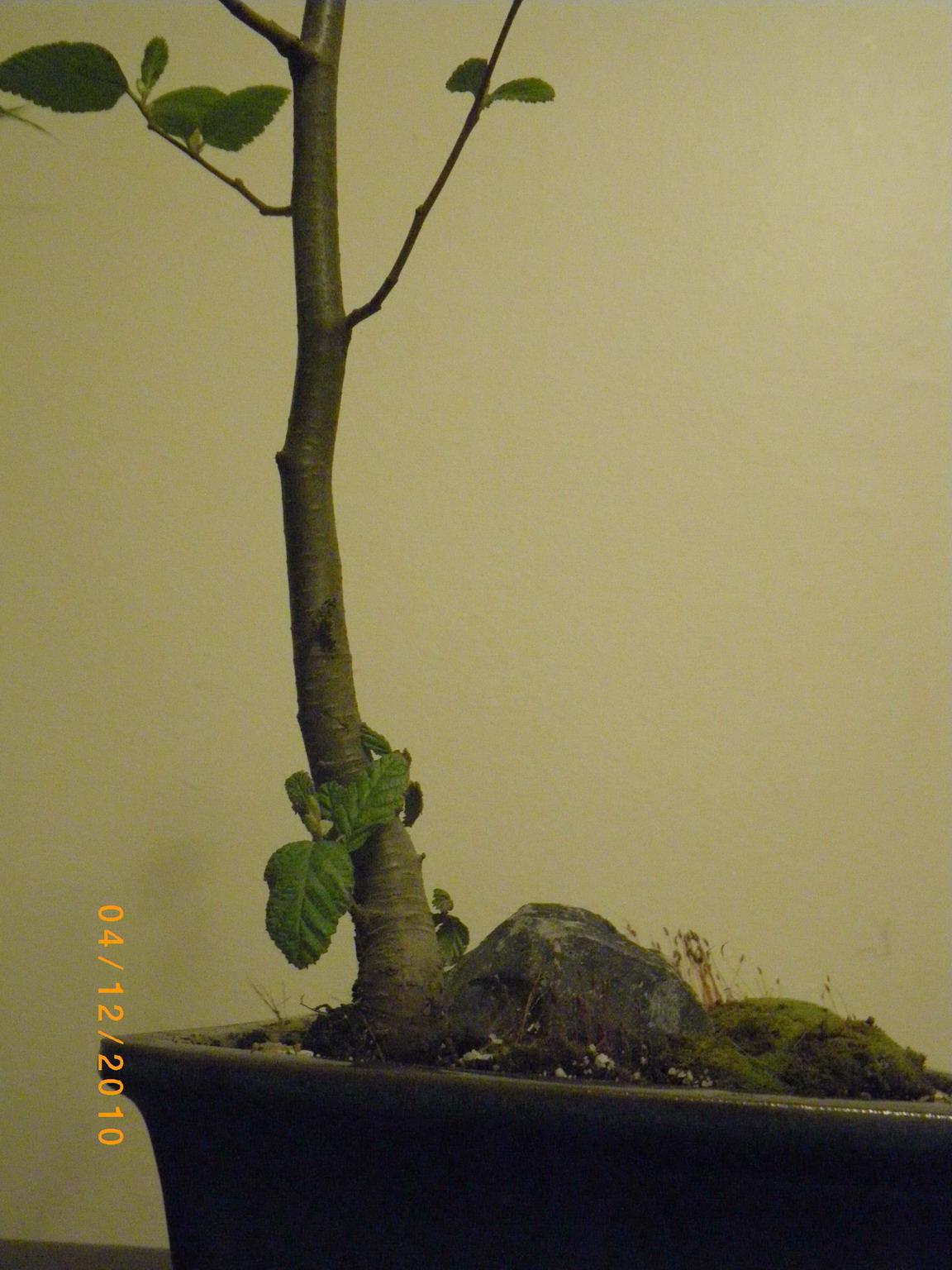 Scented Leaf Truffle Bonsai