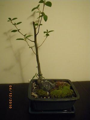 Alnus Tree with Frankia Bacteria