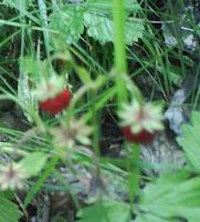 Smallberries / Fragi