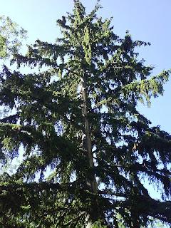 Jin Tree / Copac brazdat de fulger