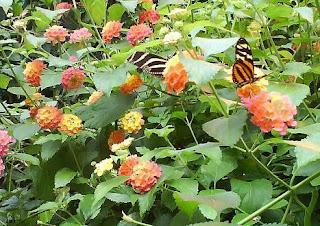 Dancing Butterflies / Fluturi dansand