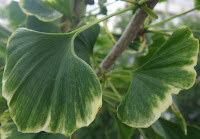 Maidenhair / Ginkgo Biloba leaves
