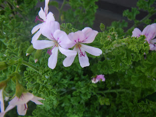 Scented Pelargonium / Geranium Prince of Orange
