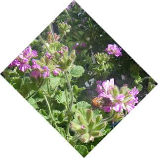 Scented Pelargonium / Geranium Atomic Snowflake