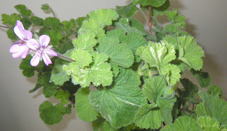 Atomic Snowflake Scented Pelargonium / Geranium flower and leaves