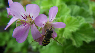 Bee in Scented Pelargonium Atomic Snowflake flower