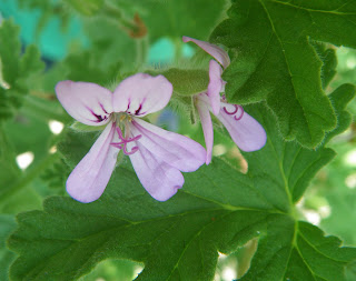Pelargonium Capitatum / Attar of Roses flower