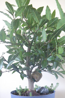 Bay Laurel / Sweet Bay layered tree