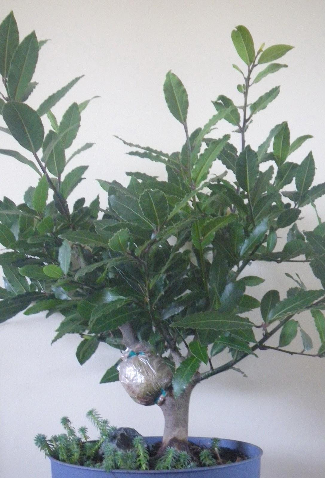 Scented Leaf Bay Laurel Edible And Medicinal Tree