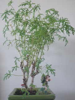 Pelargonium Radens bonsai, Skeleton Rose