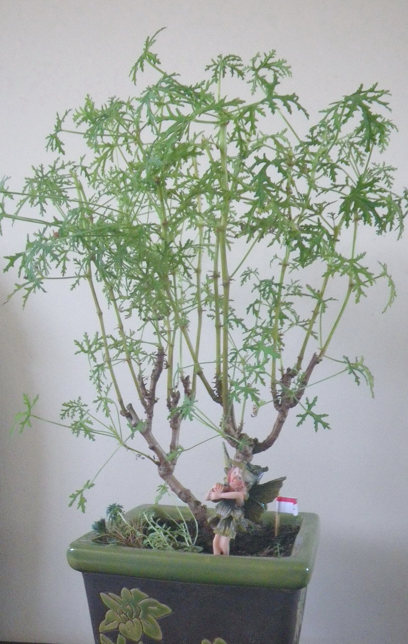 Scented Leaf Scented Pelargoniums Bonsai Styles
