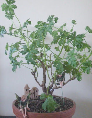 Pelargonium bonsai - Mexican Sage