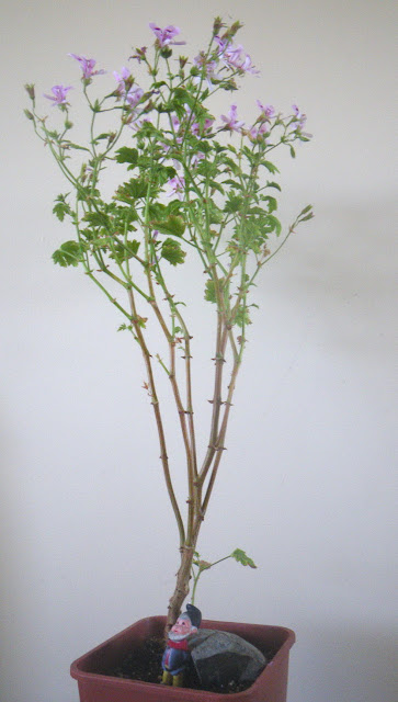Scented Geranium Frensham Lemon - the stem is growing in the form of column