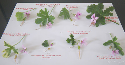 Scented pelargonium seeds flowers and leaves