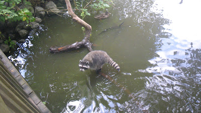 Fishing raccoon in Stanley Park, Vancouver