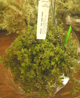 sedum new salsa verde