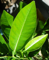 Lemon tree leaves - Bear's Lime variety