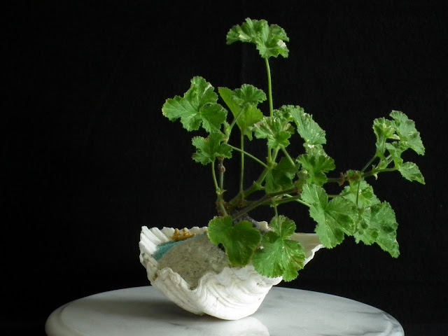 Thanksgiving green craft with scented pelargonium Atomic Snowflake