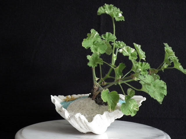 Atomic Snowflake Pelargonium potted in giant shell - green craft made for 2010 Thanksgiving Day