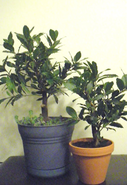 Air layered Bay Laurel Trees