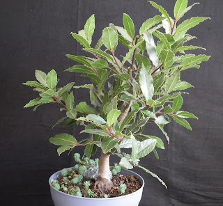 Bay Laurel mother plant without air layered branch