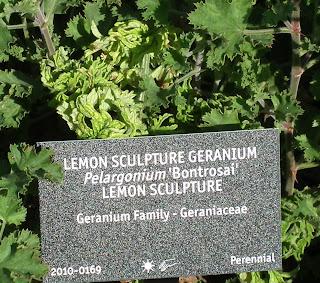 Scented Pelargonium Bontrosai at VanDusen Garden