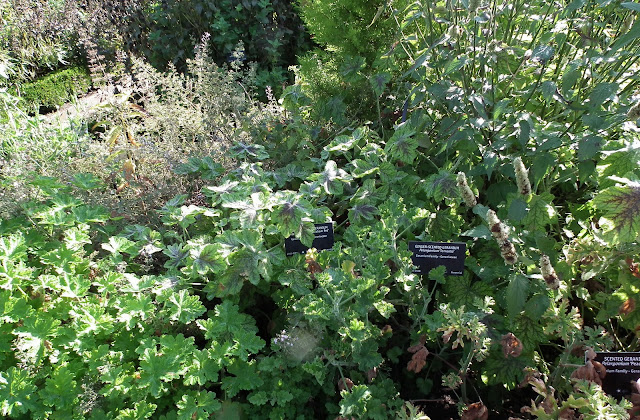 Aromatic herbs at VanDusen Garden