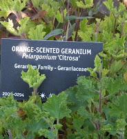 Scented Geranium Citrosa at VanDusen Garden