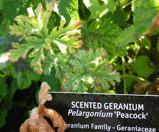 Scented Geranium Peacock at VanDusen Garden