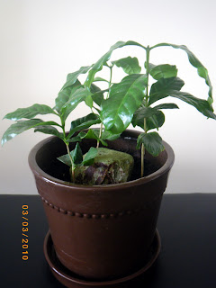 Coffea Arabica Plants in March 2010