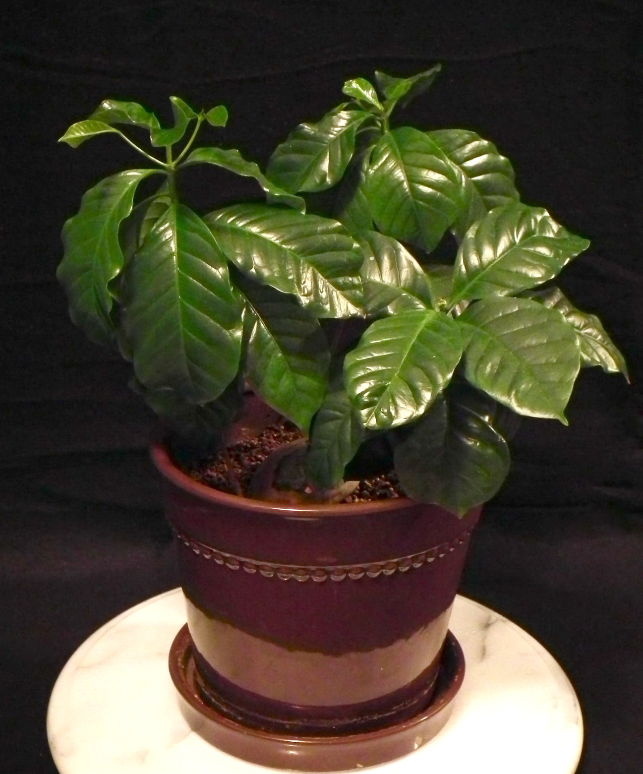 Scented Leaf Growing Coffee Plants Indoor