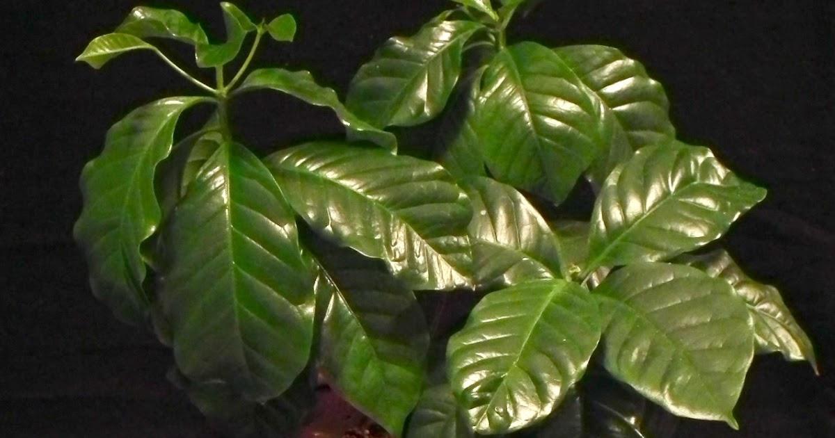 Scented Leaf Growing Coffee Plants Indoor