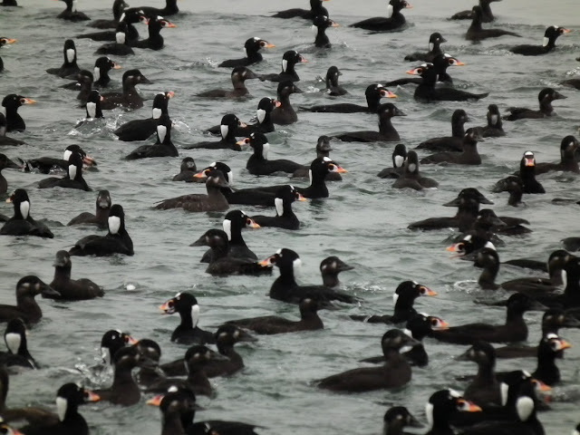 Surf Scoters feeding at Vancouver's shorelines