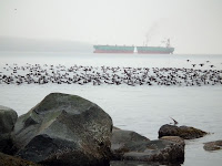 Surf Scoters invasion at Second Beach, Vancouver