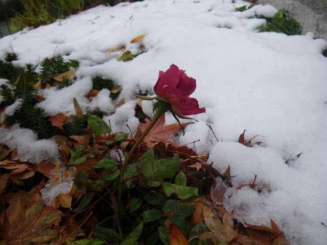 rose covered by snow